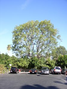 Ash Tree - After