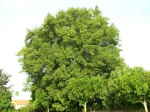 Ash Tree - Before