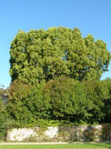 Podocarpus - Before