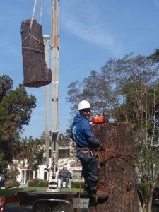 CEDAR TREE REMOVAL Services